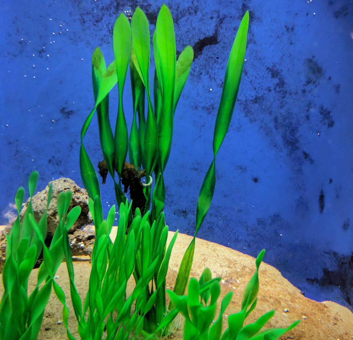Скромный или сонный морской конек живет в аквариуме на Крите