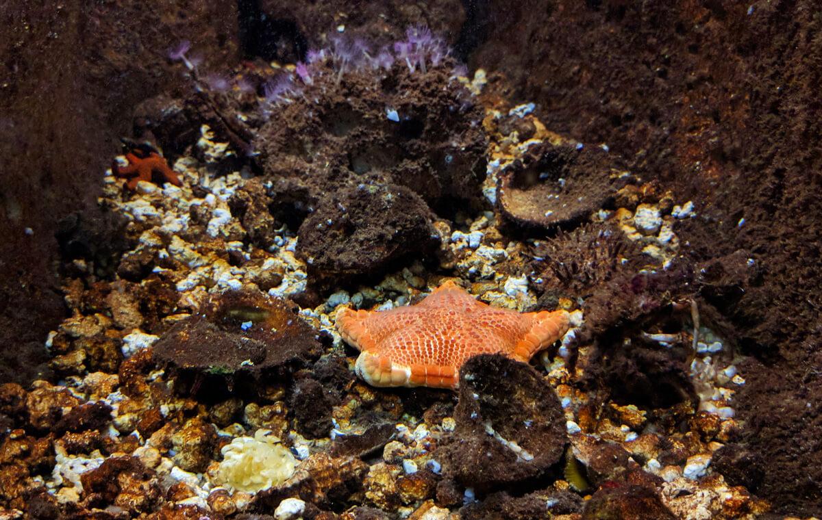 Морская звезда в аквариуме Крита