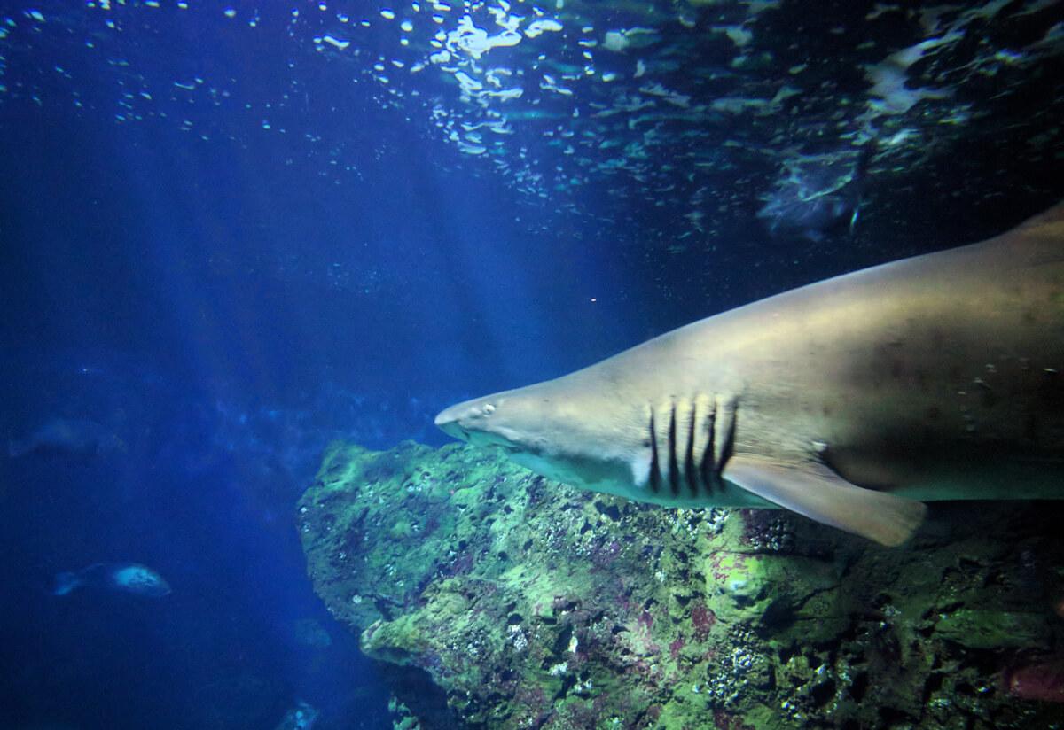Акула в аквариуме Крита